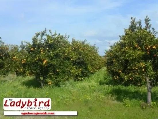 Ortaca/Dalyan Area -  Orange Orchard For Sale
